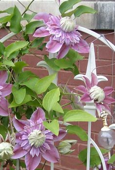 My Josephine clematis didn't just survive...it thrived!  It's in bloom now.