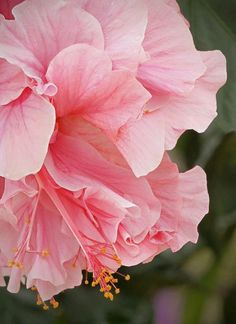 Love these flowers Pink Hibiscus - love this shade of pink. Would look lovely beside my deep purple hibiscus Hibiscus Plant, Hibiscus Flowers, Flowers Nature, Exotic Flowers, Tropical Flowers, Amazing Flowers, My Flower, Pink Flowers, Beautiful Flowers