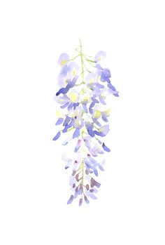wild wisteria (山藤), for dear yukino, nature treasures from nagano olgainoue.com