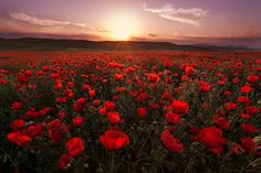 poppy field by Anton Sadomov on 500px