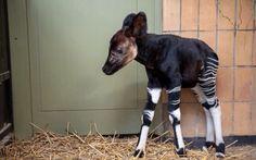 Baby okapi Unusual Animals, Animals Beautiful, Bizarre Animals, Beautiful Creatures, Cute Baby Animals, Animals And Pets, Animal Babies, Wild Animals, Animal Fun