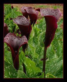 hot chocolate black calla lily