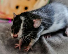What a gorgeous rat! Could there really be Blue Merle rats like Aussies now?