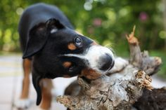 5 Things to Know About Entlebucher Mountain Dogs Goldendoodle, Yorkie, Chihuahua, Entlebucher Mountain Dog, Herding Dogs, Dog Travel, Dog Hacks, King Charles Spaniel, Mountain Dogs