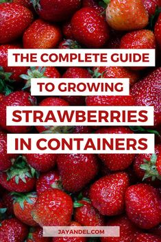 So How Difficult Is It Really To Grow Strawberries In Containers? Strawberries Are Sweet And Juicy When They Are Picked Right From The Plant. Look at This Complete Guide To Growing Your Own Strawberries In Containers Right Now When To Plant Strawberries, Growing Strawberries In Containers, Growing Vegetables In Containers, Container Gardening Vegetables, Vegetable Gardening, Strawberry Garden, Strawberry Plants, Fruit Garden, Gardening For Beginners