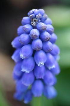 blaue Traubenhyazinthe, augsburg, botanischer Garten