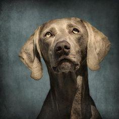 #weimaraner #dog #wolfshadowphotography