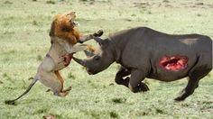 Lion vs Rhino Real Fight To Death   Lion vs Rhino Best Attack Compilatio...