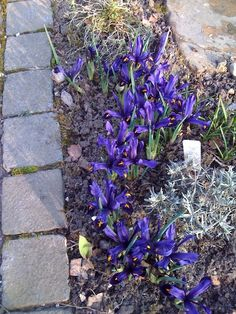 Front Raised bed : Iris reticulata March 2013
