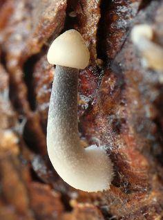 Nahuby.sk - Fotografia - prilbička šišková Mycena strobilicola J. Favre & Kühner