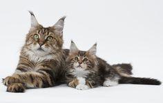 Le #chat et chaton Maine Coon