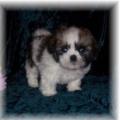 Bichon/Shih tzu (teddy bears) puppies 4 males $450.00 6weeks old. Personality They are generally fantastic with kids. They''re very social, and friendly with everyone including your children''s friends, and the neighborhood dogs. They''re generally on the milder side. On a range of 1-10, 10 being the most active (like a Jack Russel Terrier!), they will generally fall in the range of 3-5. Shih Chons are generally gentle dogs. Size and Colors Sizes vary, depending on the parents. Usually, they…