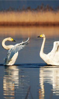 Swans in Jelcz-Laskowice, Poland