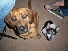 This dog has been found!!! LOST DOG - HOMEWOOD, AL area:   *In the photo, he's the dog on the RIGHT*  Toy fox terrier lost from the Homewood, AL area (Raleigh Ave). Looks similar to a chihuahua, white and black with markings like Mickey Mouse. He managed to get his collar off this afternoon before he got out. He is old and timid and hates the cold. Answers to Jack.   Message Gwen Vickery on Facebook:  www.facebook.com/...
