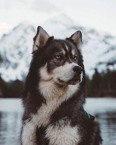 Wonderful All About The Siberian Husky Ideas. Prodigious All About The Siberian Husky Ideas. Siberian Husky Dog, Husky Puppy, Malamute Puppies, Cute Dogs And Puppies, Baby Dogs, Doggies, Puppies Puppies, Fluffy Puppies, Cutest Dogs
