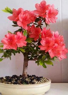 Rare Bonsai Varieties Azalea seeds) DIY Home& Garden Plants Looks Like Sakura Japanese Cherry Blooms Flower Seeds. Bonsai Tree Types, Indoor Bonsai Tree, Bonsai Plants, Bonsai Garden, Bonsai Trees, Air Plants, Cactus Plants, Ikebana, Bonsai Azalea