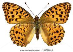Nymphalidae Fotos, imagens e fotografias Stock   Shutterstock
