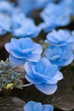 Blue Hydrangea Macro Beautiful gorgeous pretty flowers