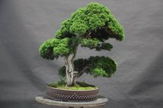 Juniper Bonsai, Twin-trunk style (Sokan).