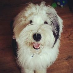 Youngster - Old English Sheepdog