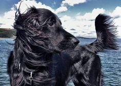 Denzil the dog (Cornwall) #flat coat retriever