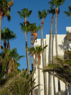 Tree pruning Lanzarote style! Matagorda Sept 2014