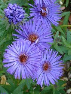 aster- birth flower for September