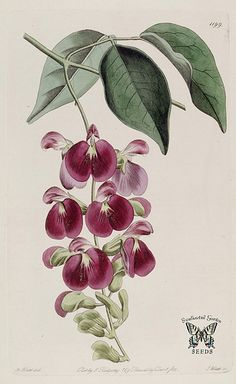 Canavalia bonariensis. Climbing vine with purple flowers attached to a hanging inflorescence. The Botanical Register vol. 14 (1828)