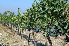 Vinedos Zona Central #pinChile #wine