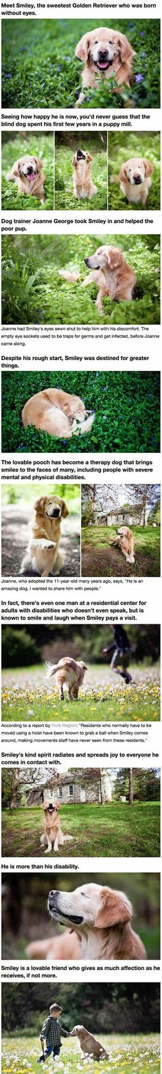 Golden+retriever+born+without+eyes+brings+joy+to+humans+with+disabilities