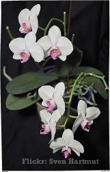 Orquídea Phalenopsis cultivo