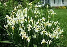 Siberian Iris are one of the easiest iris to cultivate. Tolerant of many soil types and climactic conditions, Siberian Iris are a gardener's low-maintenance plant.   The foliage itself adds to garden structure when not in bloom.