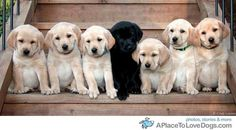 OMG all the Lab PUPPIES!!!