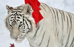 Animals from the around the world get into the Christmas spirit by tucking   into festive treats.