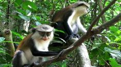 Monkey you will see many time in the woods, at the side of the roads. At some places the monkeys are even sacred. Ghana Empire, History Of Ghana, Big Six, Tourist Sites, Fort William, Historical Monuments, African Countries, Bird Species, Travel Agency
