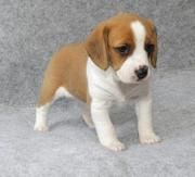 this is the baby beagle i want