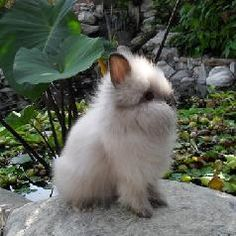 Baby Lion Head Rabbits - Wade.....I want one!!!!