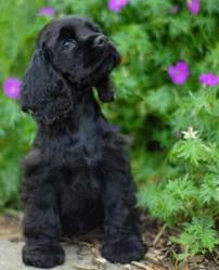 So cute, black Cockers Spaniels are so beautiful!