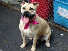 SAFE Manhattan Center  ZENA - A0936942 ***** RETURNED ON 7/13/13 ****  SPAYED FEMALE, TAN / WHITE, PIT BULL MIX, 2 yrs, 1 mo STRAY - https://www.facebook.com/photo.php?fbid=640360545976828=a.617938651552351.1073741868.152876678058553=3