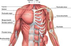 The thoracolumbar fascia the gluteus muscle the latisimus dorsi image result for upper back muscle diagram ccuart Gallery