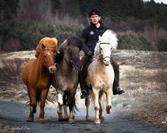 Icelandic Horses Par Halldor Ingi  Halldór Ingi Eyþórsson