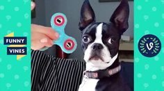 FIDGET SPINNERS vs. PETS Compilation 2017 | Funny Vines Videos | fidget spinner - WATCH VIDEO HERE -> http://pricephilippines.info/fidget-spinners-vs-pets-compilation-2017-funny-vines-videos-fidget-spinner/      Fidget Spinner Philippine Prices (Easy Cash On Delivery)  Brand new weekly compilation featuring Fidget Spinners & Animals! Watch these pets react, play and do awesome tricks with fidget spinners! Want to be Featured? Submission Form:  Check our more Vine Compil
