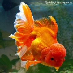 windsor fish hatchery is unique in that we sell the koi and goldfish we breed online and ship the fish to your home or business via couriers with a live arrival guarantee All Fish, Live Fish, Goldfish For Sale, Fish Hatchery, Dead Fish, Cichlids, Carp, Aquariums, Fish Tank