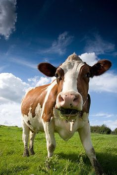 Surprise! by tricky. #cow