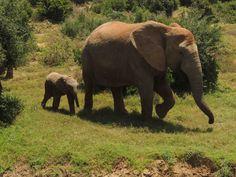 Daddy and Baby Elephant  Ado Elephant Park Port Elizabeth, South Africa