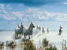 Camargue horses of southern France