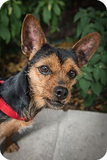 New York, NY - Chihuahua Mix. Meet Lila, a dog for adoption. http://www.adoptapet.com/pet/15987957-new-york-new-york-chihuahua-mix