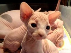 The Dwelf cat is a new cat breed. This cat includes the bald attribute of the Sphynx cat, the small thighs of the Munchkin kitten along with the curled ears of the American Curl. The result is a really unique-looking pet.