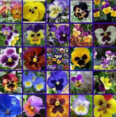 Pansies and Violas come in a great range of colours now Folk Art Flowers, Flower Art, Johnny Jump Up, Card Making Designs, Language Of Flowers, Most Beautiful Flowers, Punch Art, Flower Pictures, Petunias