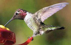 Favorite Southwest Hummingbirds.